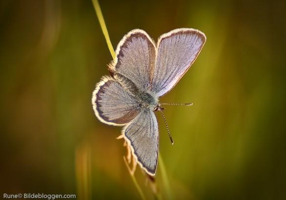 blaavinge-Polyommatus-icarus