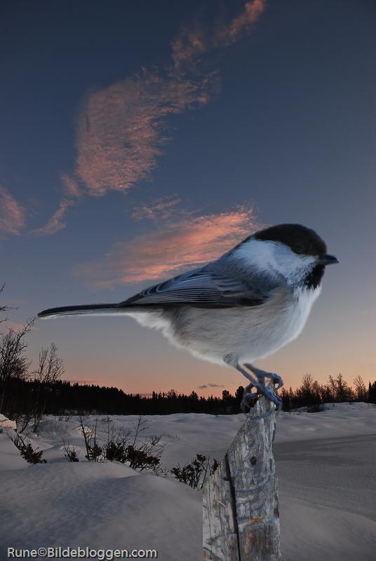 granmeis-i-solnedgang